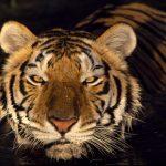 نمر 2019 معلومات النمور كاملة صور ميكس 35