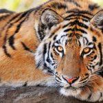 نمر 2019 معلومات النمور كاملة صور ميكس 36