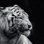 نمر 2019 معلومات النمور كاملة صور ميكس 37