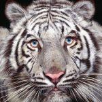 نمر 2019 معلومات النمور كاملة صور ميكس 38