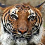 نمر 2019 معلومات النمور كاملة صور ميكس 40