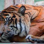 نمر 2019 معلومات النمور كاملة صور ميكس 42