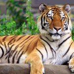 نمر 2019 معلومات النمور كاملة صور ميكس 6