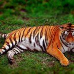 نمر 2019 معلومات النمور كاملة صور ميكس 7