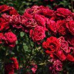 ورد أحمر وفوائد الورد الأحمر صور ميكس 1