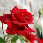 ورد أحمر وفوائد الورد الأحمر صور ميكس 10