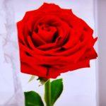 ورد أحمر وفوائد الورد الأحمر صور ميكس 14