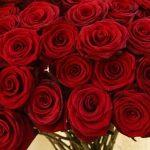 ورد أحمر وفوائد الورد الأحمر صور ميكس 21