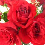 ورد أحمر وفوائد الورد الأحمر صور ميكس 3