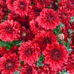 ورد أحمر وفوائد الورد الأحمر صور ميكس 32