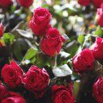 ورد أحمر وفوائد الورد الأحمر صور ميكس 42