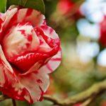 ورد أحمر وفوائد الورد الأحمر صور ميكس 43