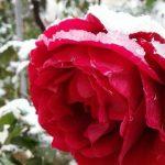 ورد أحمر وفوائد الورد الأحمر صور ميكس 5