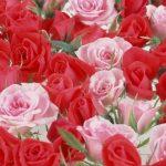 ورد أحمر وفوائد الورد الأحمر صور ميكس 51