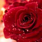 ورد أحمر وفوائد الورد الأحمر صور ميكس 52