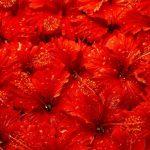ورد أحمر وفوائد الورد الأحمر صور ميكس 53