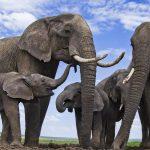 صور وخلفيات الفيل ومعلومات كاملة عن الفيل 14