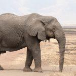 صور وخلفيات الفيل ومعلومات كاملة عن الفيل 18