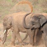صور وخلفيات الفيل ومعلومات كاملة عن الفيل 21