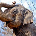 صور وخلفيات الفيل ومعلومات كاملة عن الفيل 32