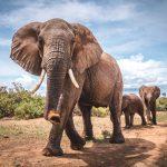 صور وخلفيات الفيل ومعلومات كاملة عن الفيل 4