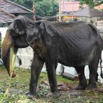 صور وخلفيات الفيل ومعلومات كاملة عن الفيل 6