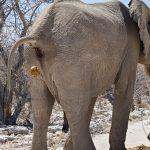 صور وخلفيات الفيل ومعلومات كاملة عن الفيل 7