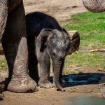 صور وخلفيات الفيل ومعلومات كاملة عن الفيل 9
