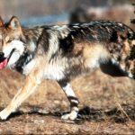 صور ذئب خلفيات و معلومات كاملة عن الذئاب 21