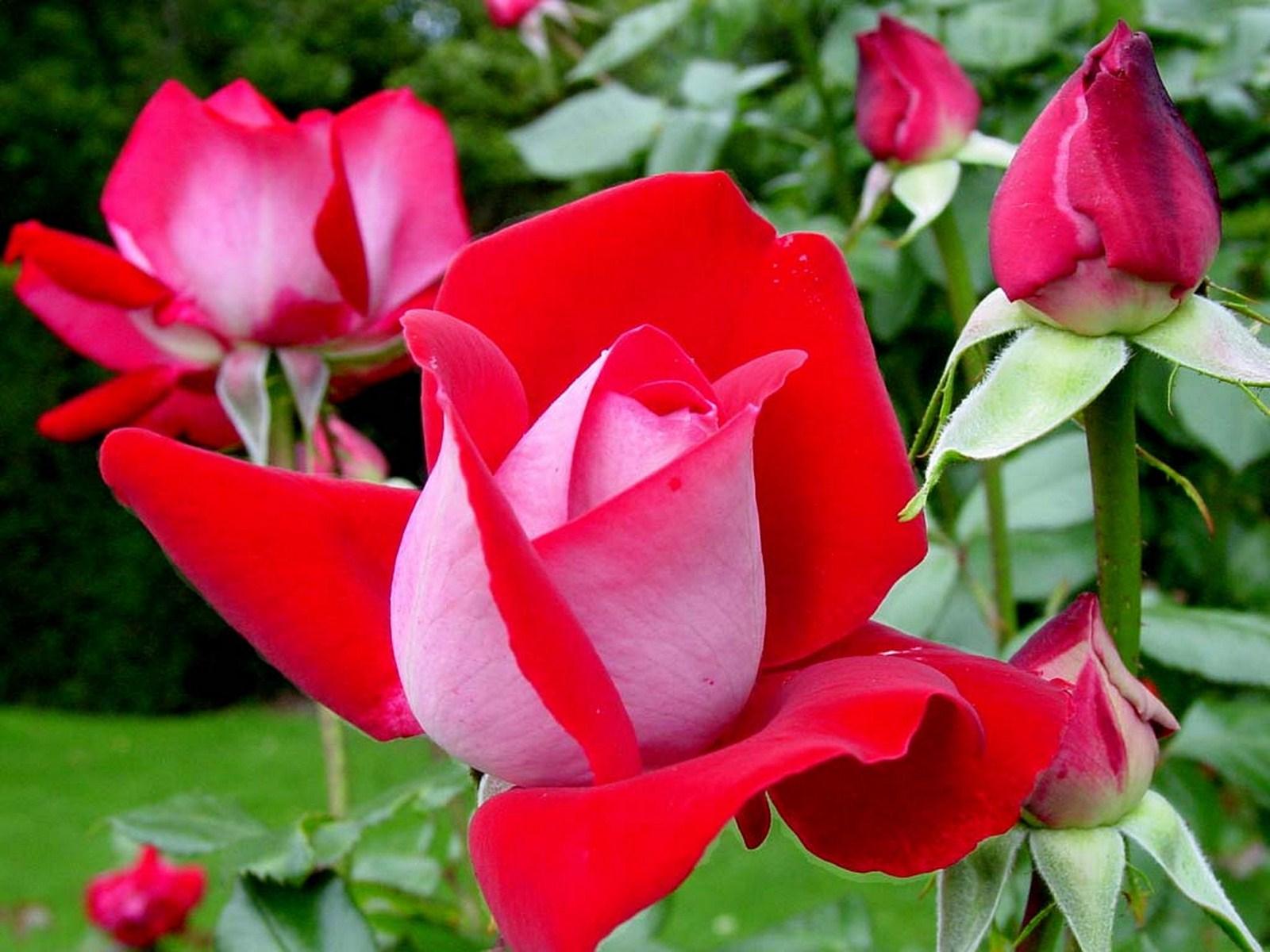 صور الورد الحلو 10