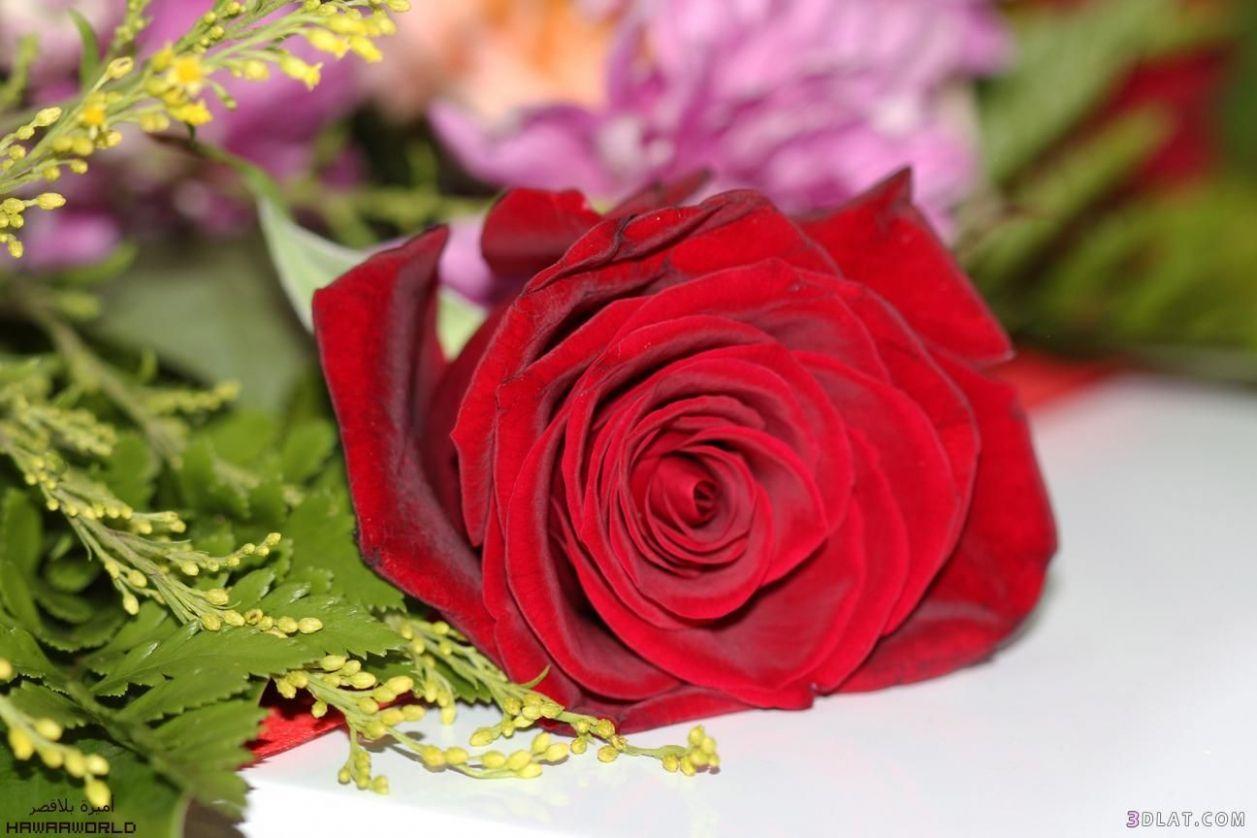صور الوردة الحلوة 5