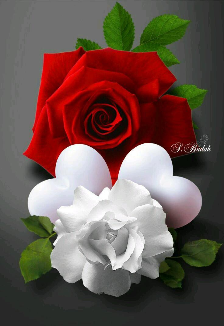 صور الورود الحلوة 9