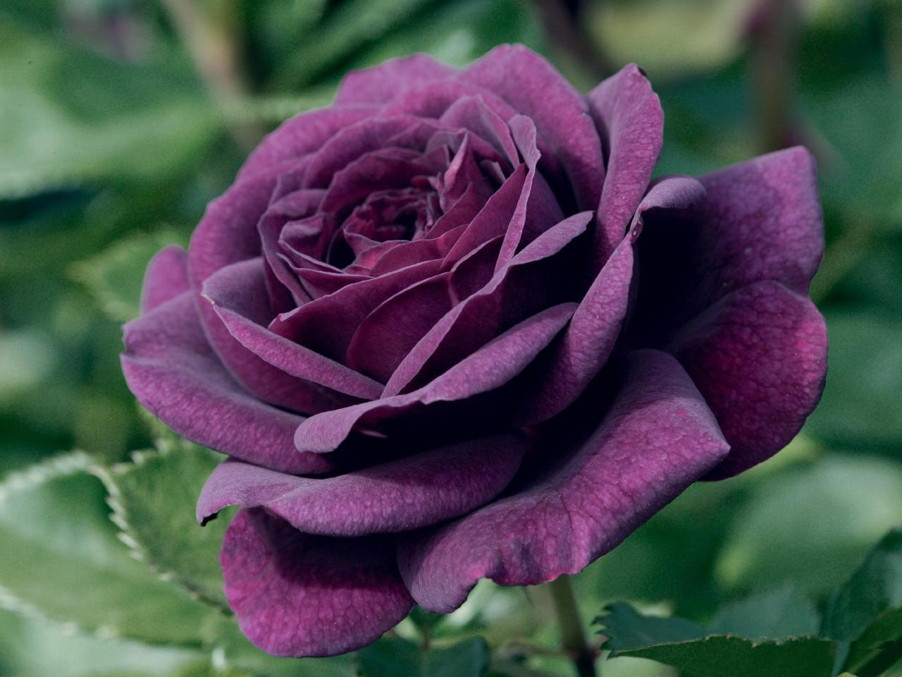 صور الورد للتصميم 1 1