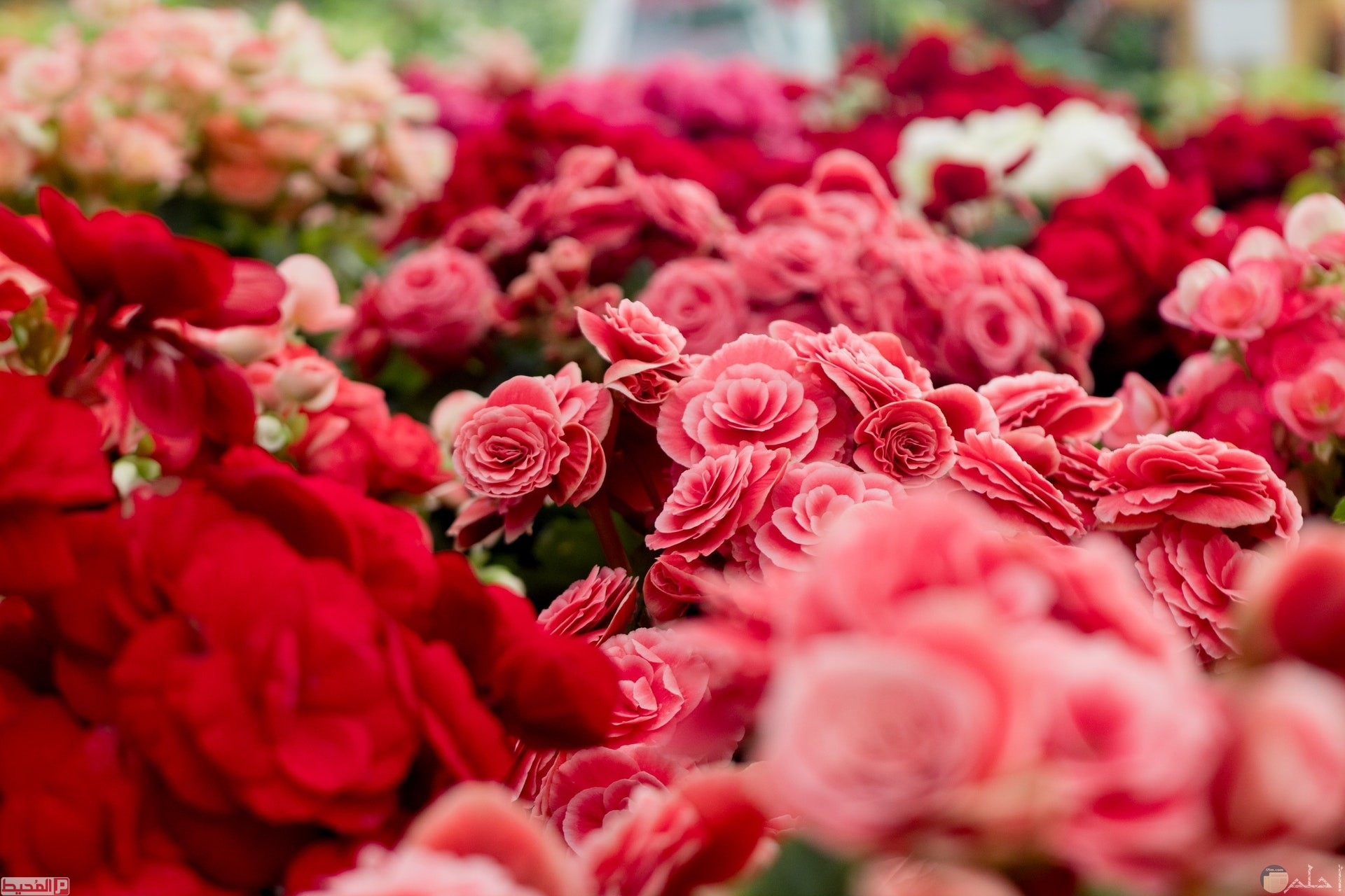 صور الورود للتصميم 3 1